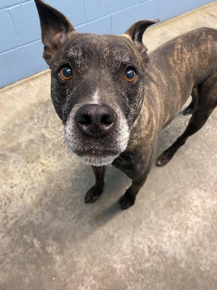 Ozzy Pawsborne, an adoptable American Staffordshire Terrier & Boxer Mix in Lexington, KY