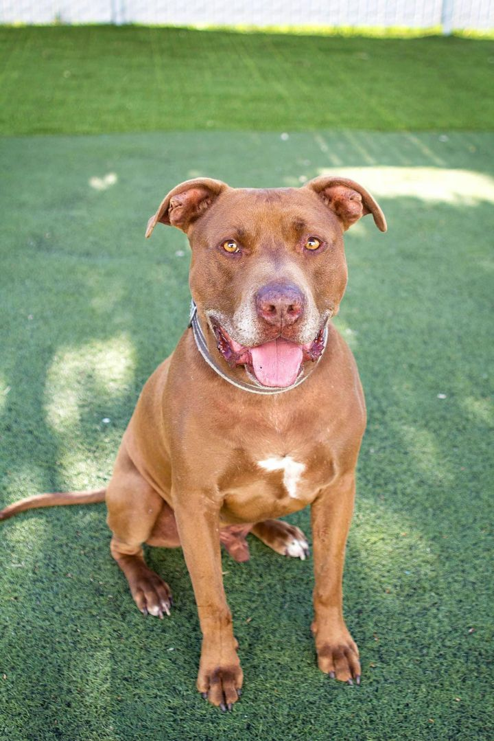 Coco, an adopted Pit Bull Terrier Mix in Eagle, ID