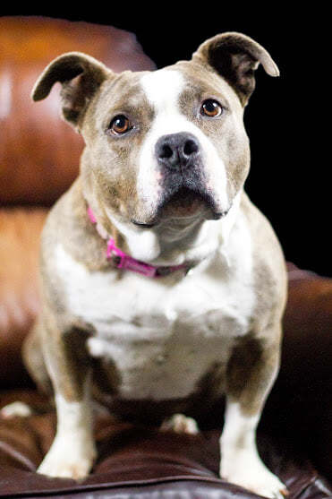 Daphne & Adam, an adoptable Pit Bull Terrier Mix in Eagle, ID