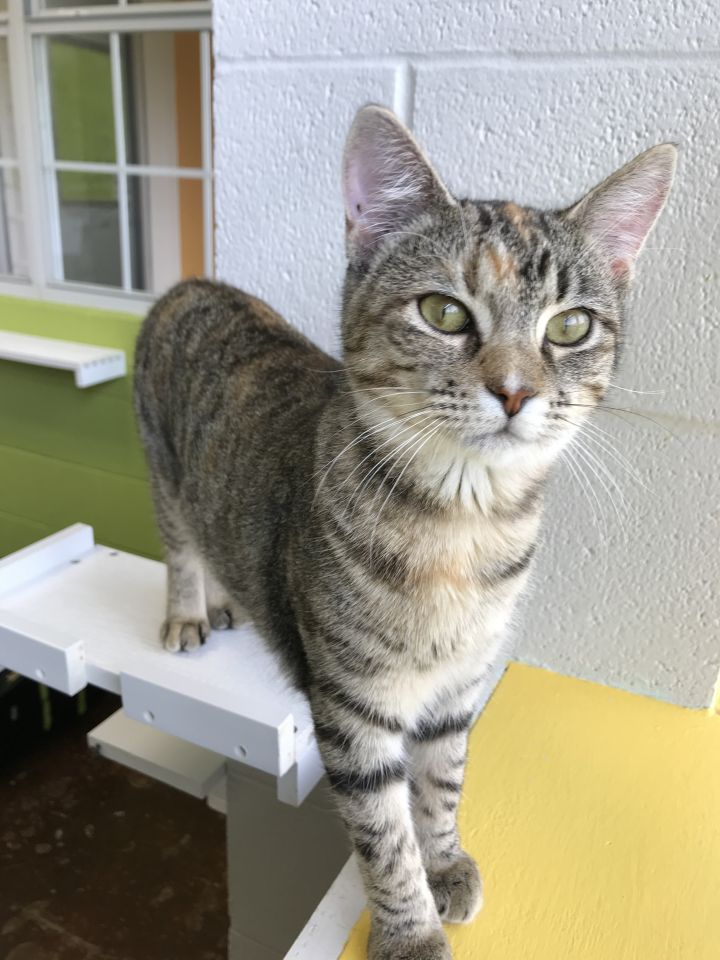 Kadie, an adoptable Domestic Short Hair Mix in Carencro, LA