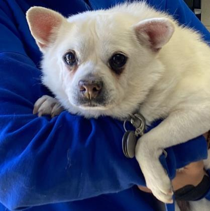 Snow, an adoptable Chihuahua Mix in Santa Barbara, CA