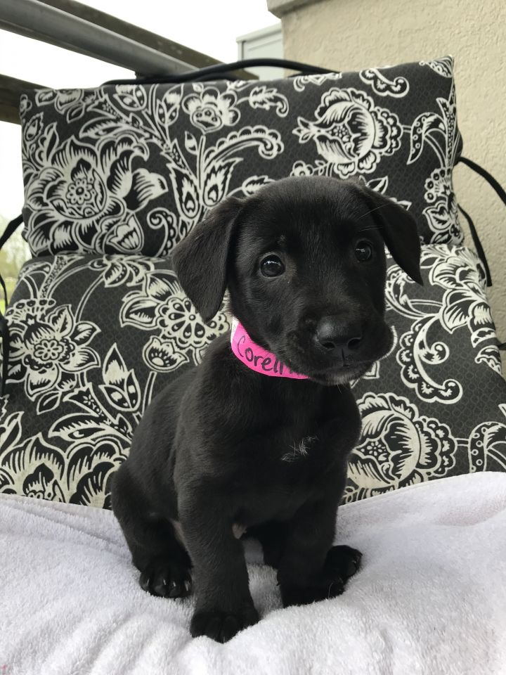 Corellia, an adopted Labrador Retriever & Basset Hound Mix in Carencro, LA