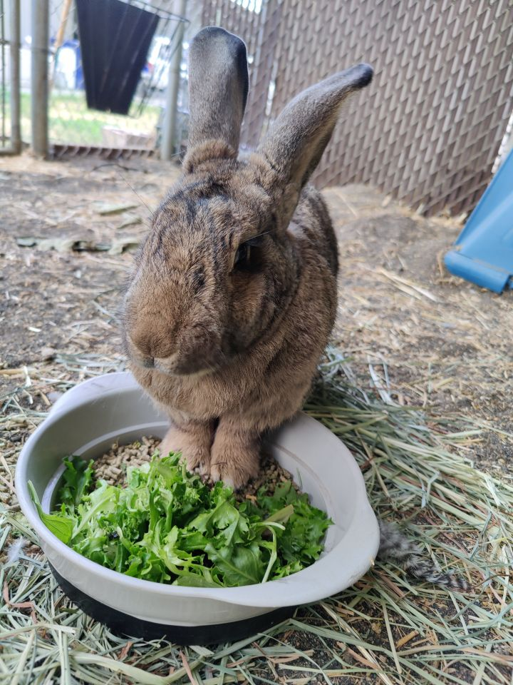 Rhubarb, an adoptable Flemish Giant in Bellingham, WA