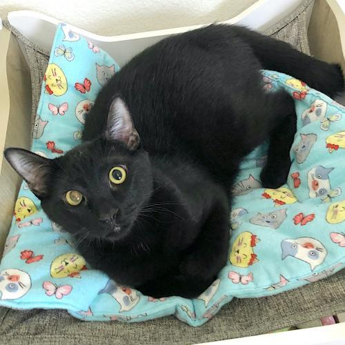 Dimon, an adoptable Domestic Short Hair Mix in Springfield, OR