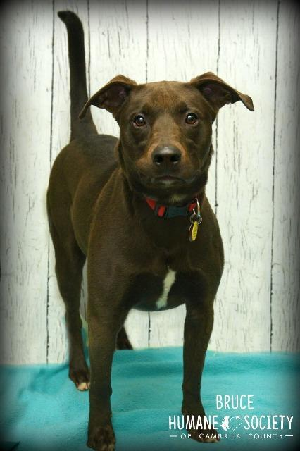 Bruce, an adoptable Pit Bull Terrier Mix in Johnstown, PA