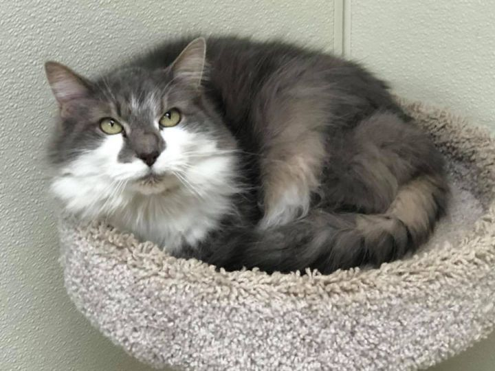 Senior Peanut - update! Adopted!, an adopted Domestic Long Hair in Myerstown, PA