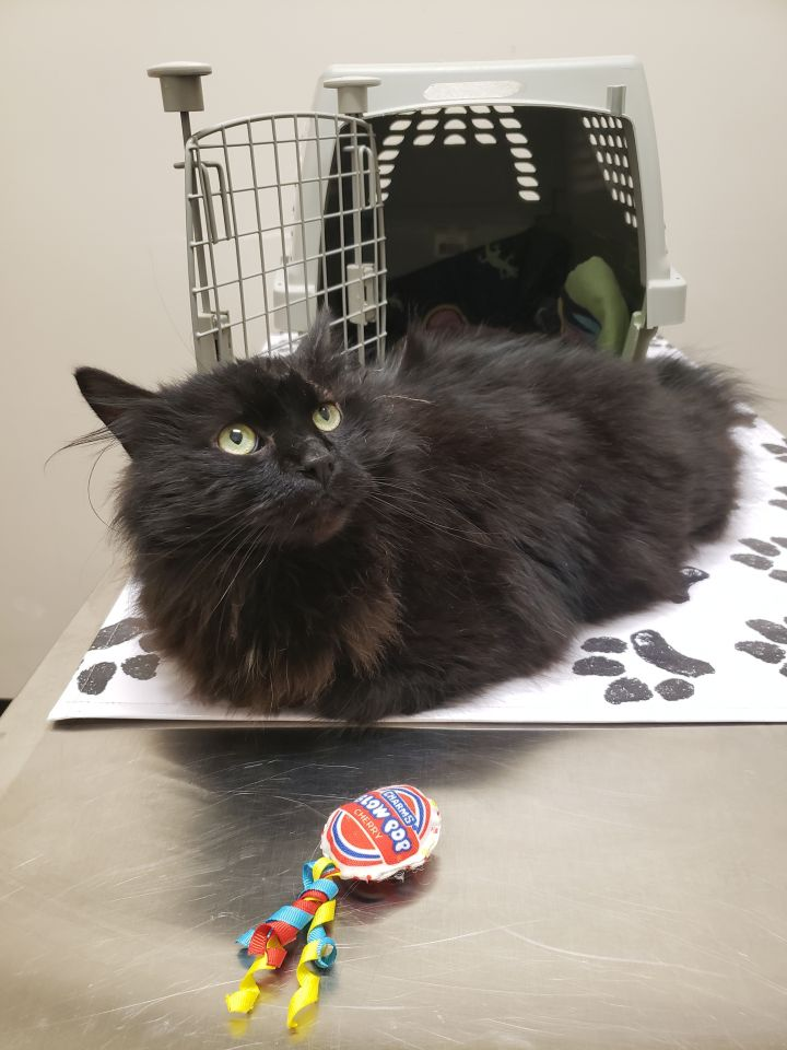 Muppet, an adoptable Domestic Long Hair in Reston, VA
