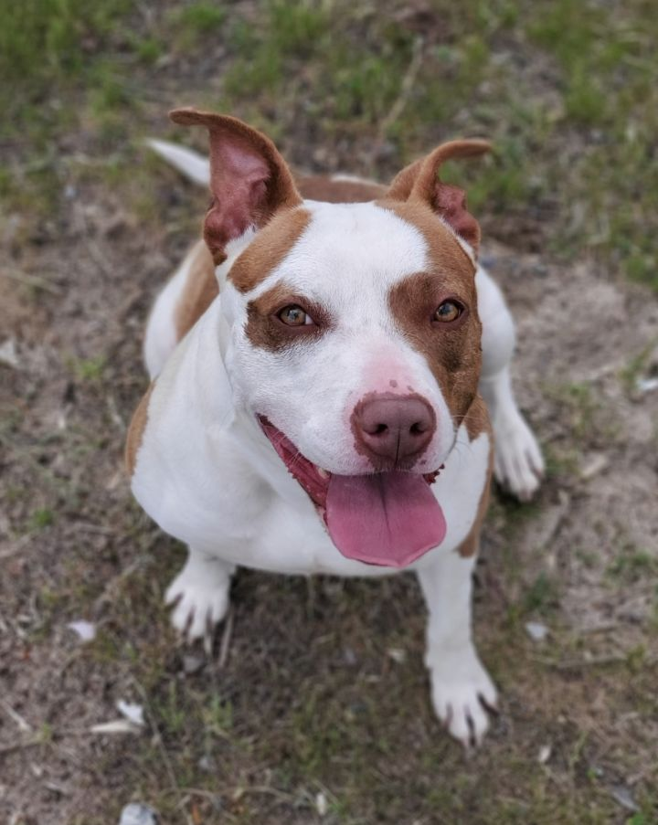 Luna, an adoptable Pit Bull Terrier Mix in Redlands, CA