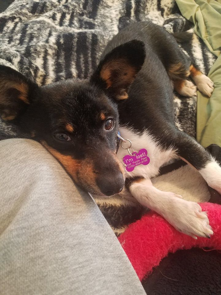 Corky, an adopted Corgi & Chihuahua Mix in Manhattan, KS