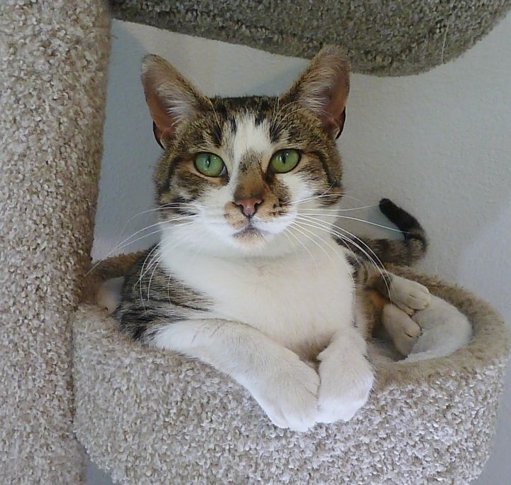 Flint, an adoptable Domestic Short Hair & Tabby Mix in League City, TX