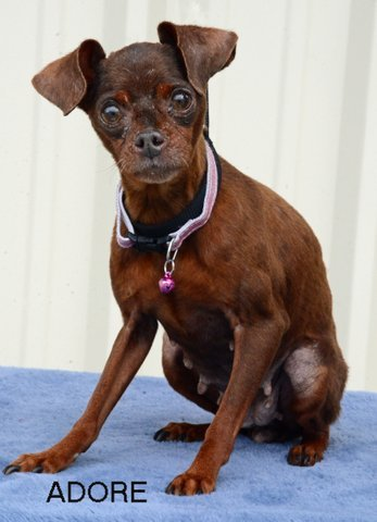 Adore, an adopted Miniature Pinscher Mix in Carencro, LA