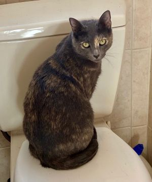 Amber is a beautiful diluted tortie who is extremely bonded to her sibling Leaf We would want them
