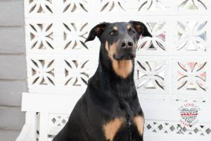 Meet Barney Barney is a 4-yr old Doberman Pinscher mix that is full of joy and a zest for life