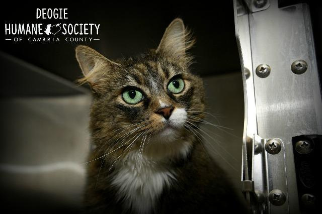 Deogie, an adoptable Domestic Long Hair in Johnstown, PA
