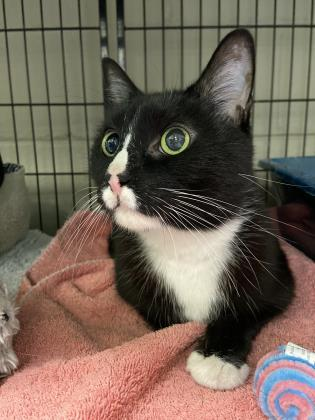 Bubba, an adoptable Domestic Short Hair Mix in Queenstown, MD