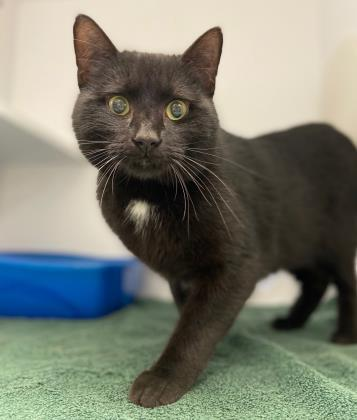 CATapult, an adopted Domestic Short Hair Mix in Queenstown, MD