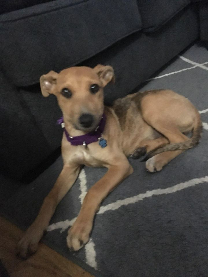 Clara, an adoptable Dachshund Mix in Medford, NY