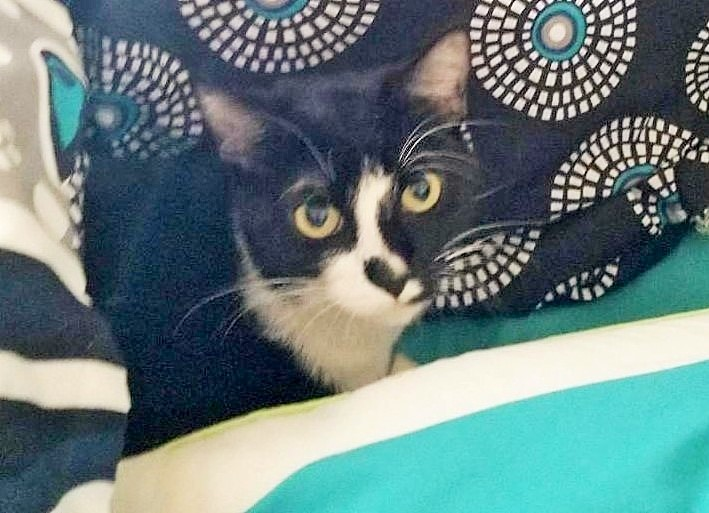 Baby Girl, an adopted Domestic Short Hair in Mission Viejo, CA