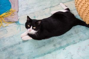 Lily (FIV+), an adoptable Domestic Short Hair in Ann Arbor, MI
