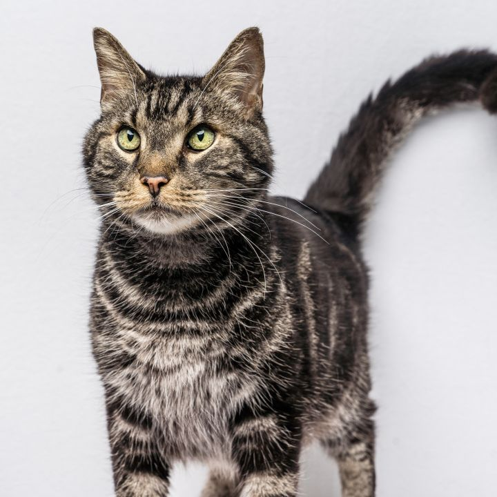 Milo, an adoptable Tabby in Waterdown, ON