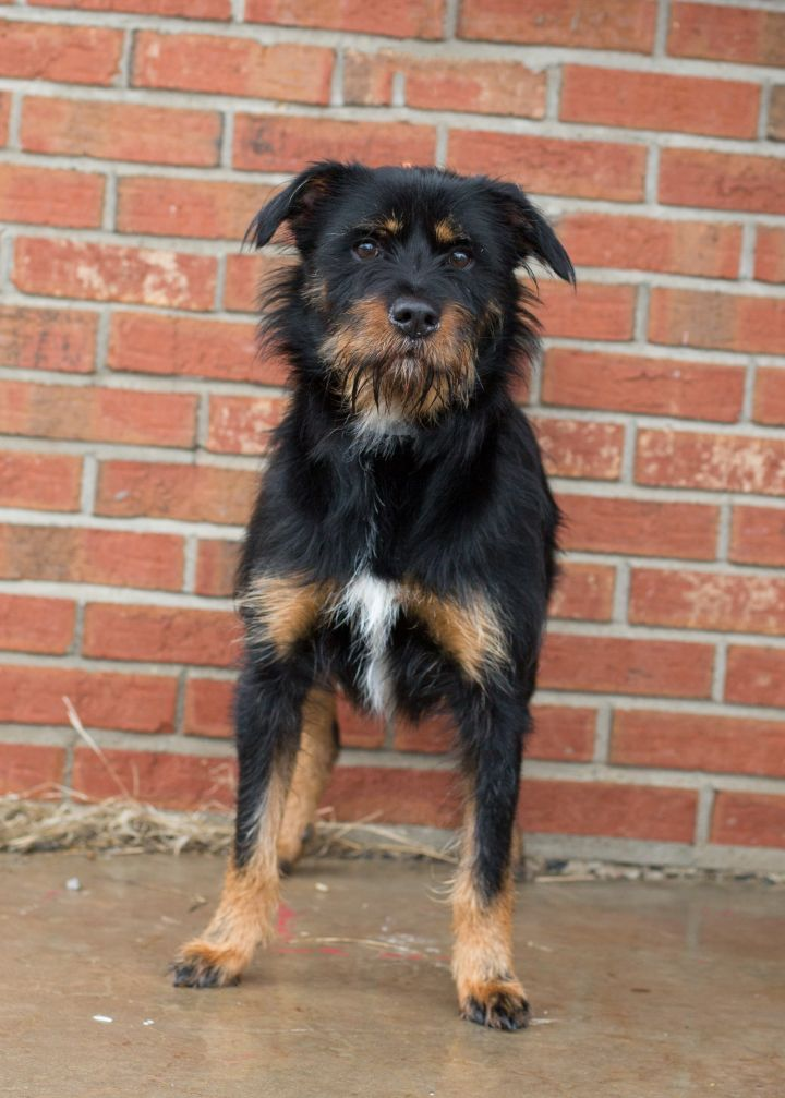 King, an adopted Mixed Breed in Cape Girardeau, MO