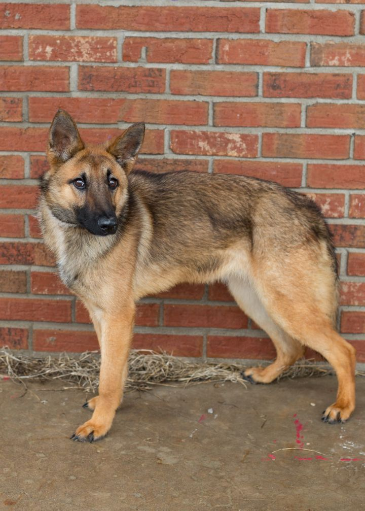 Coyote, an adopted Mixed Breed in Cape Girardeau, MO