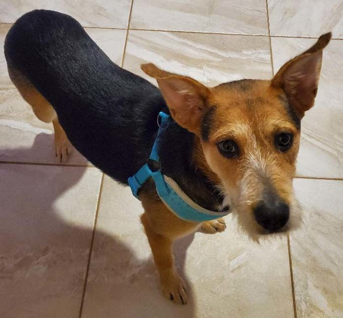 Theo, an adoptable Shepherd & Terrier Mix in Dallas, TX