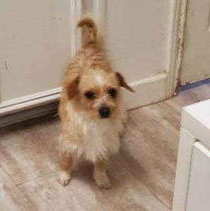 Willie, an adopted Terrier Mix in Dallas, TX