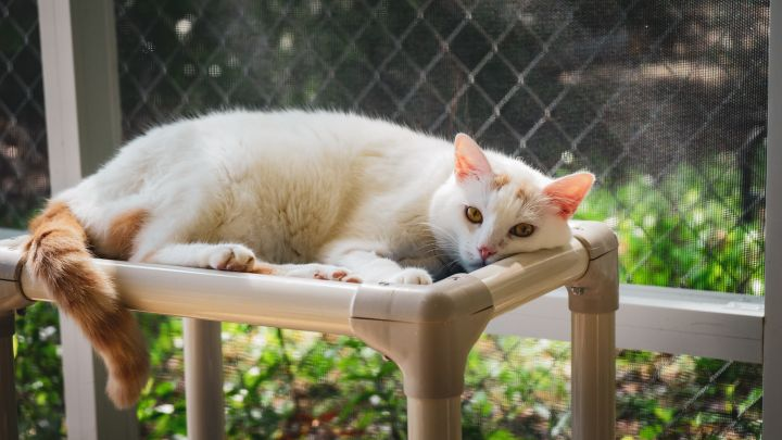 Cosmo, an adoptable Domestic Medium Hair in Eglin AFB, FL