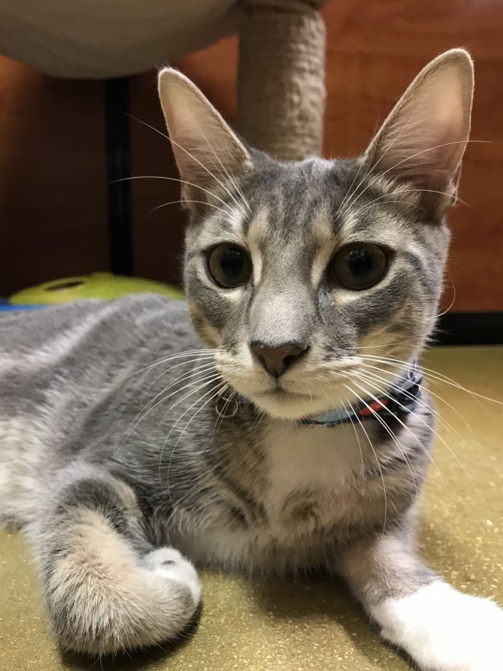 Zimba, an adoptable Domestic Short Hair in Fort Lauderdale, FL