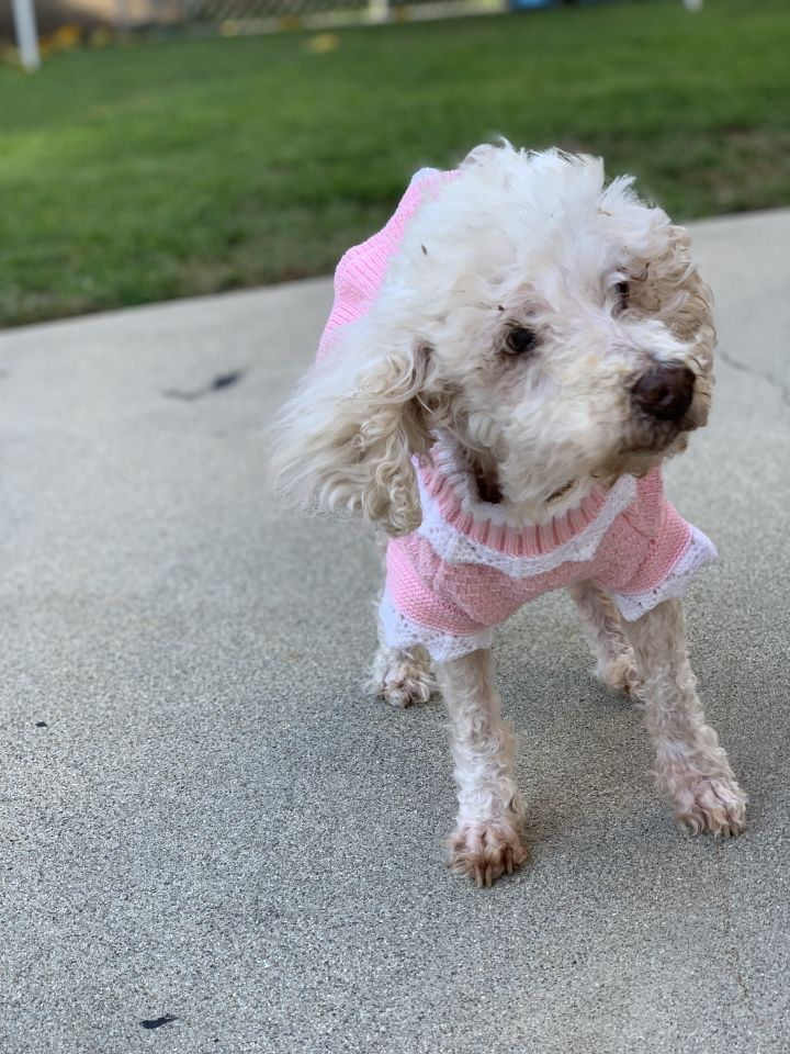 Mildred, an adopted Miniature Poodle in Valley Village, CA
