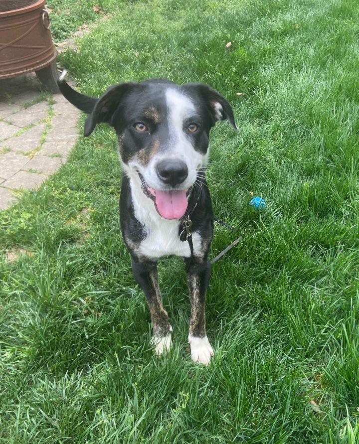 AJ, an adoptable Border Collie & Labrador Retriever Mix in Waxhaw, NC