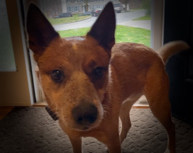 Copper, an adopted Australian Cattle Dog / Blue Heeler in Jessup, MD