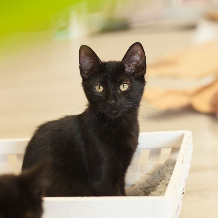 Lyra, an adopted Domestic Short Hair in Ponte Vedra, FL