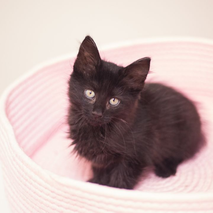 Midnight, an adopted Domestic Medium Hair in Ponte Vedra, FL