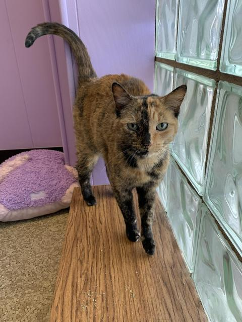 Sprinkles, an adoptable Domestic Short Hair in Utica, MI