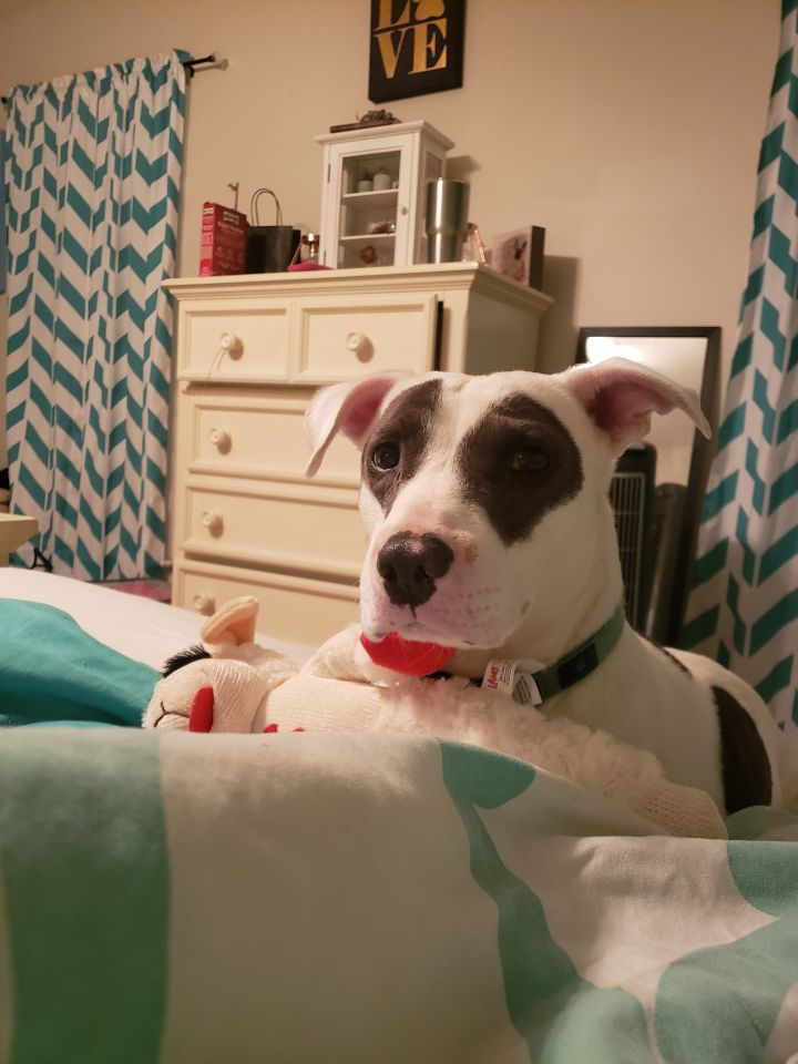 Chandler, an adopted Hound & Bull Terrier Mix in Clayton, NC