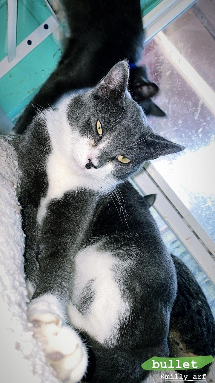 Bullet, an adoptable Domestic Short Hair Mix in Milledgeville, GA