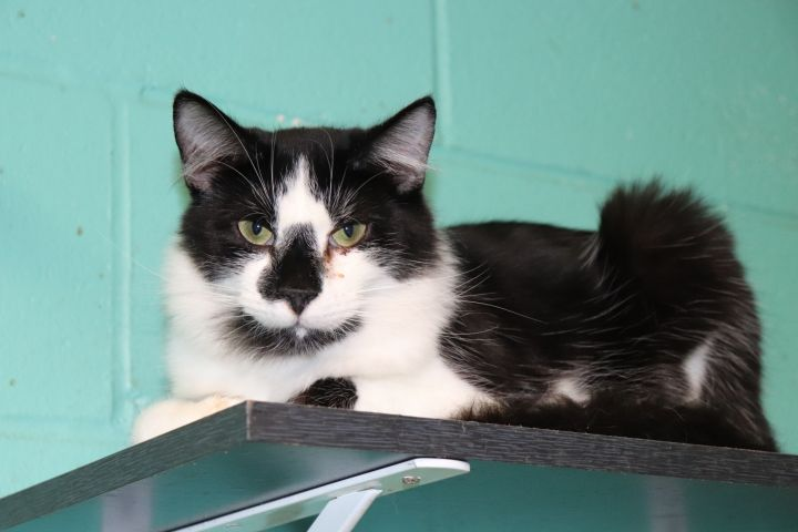Moonpie, an adopted Maine Coon & Domestic Long Hair Mix in Milledgeville, GA