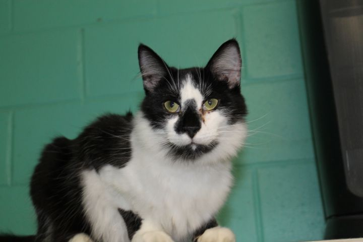 Moonpie, an adoptable Maine Coon & Domestic Long Hair Mix in Milledgeville, GA