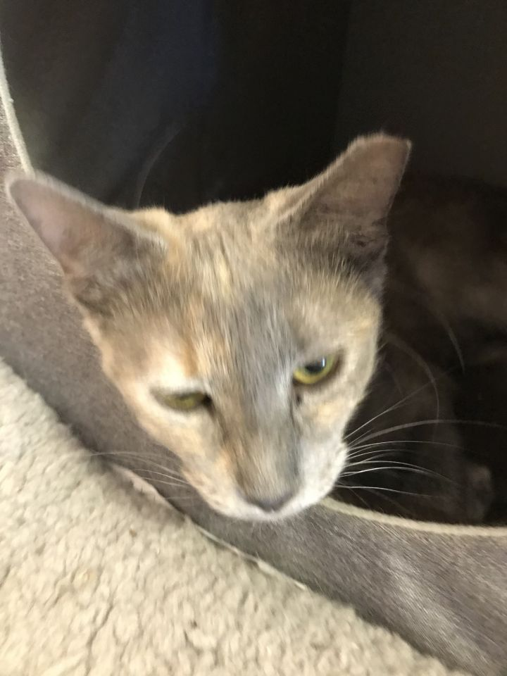Misty, an adoptable Domestic Short Hair in Oakland Park, FL