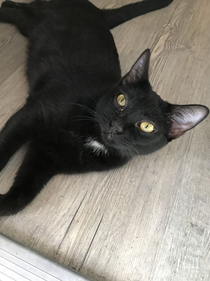Eve, an adopted Domestic Short Hair in Oakland Park, FL