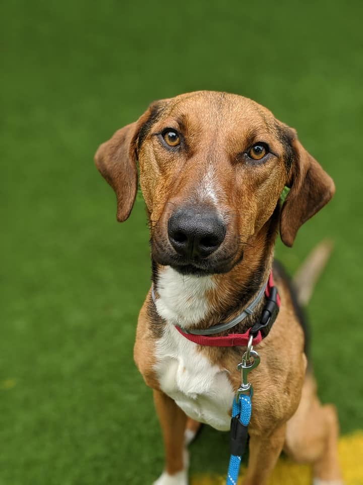 Donut, an adopted Hound & Shepherd Mix in Overland Park, KS