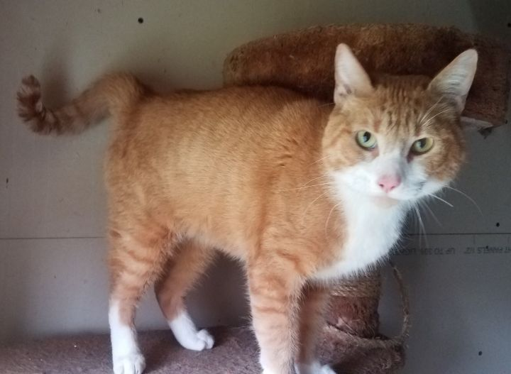 Seamus, an adoptable Domestic Short Hair & Tiger Mix in Garfield Heights, OH