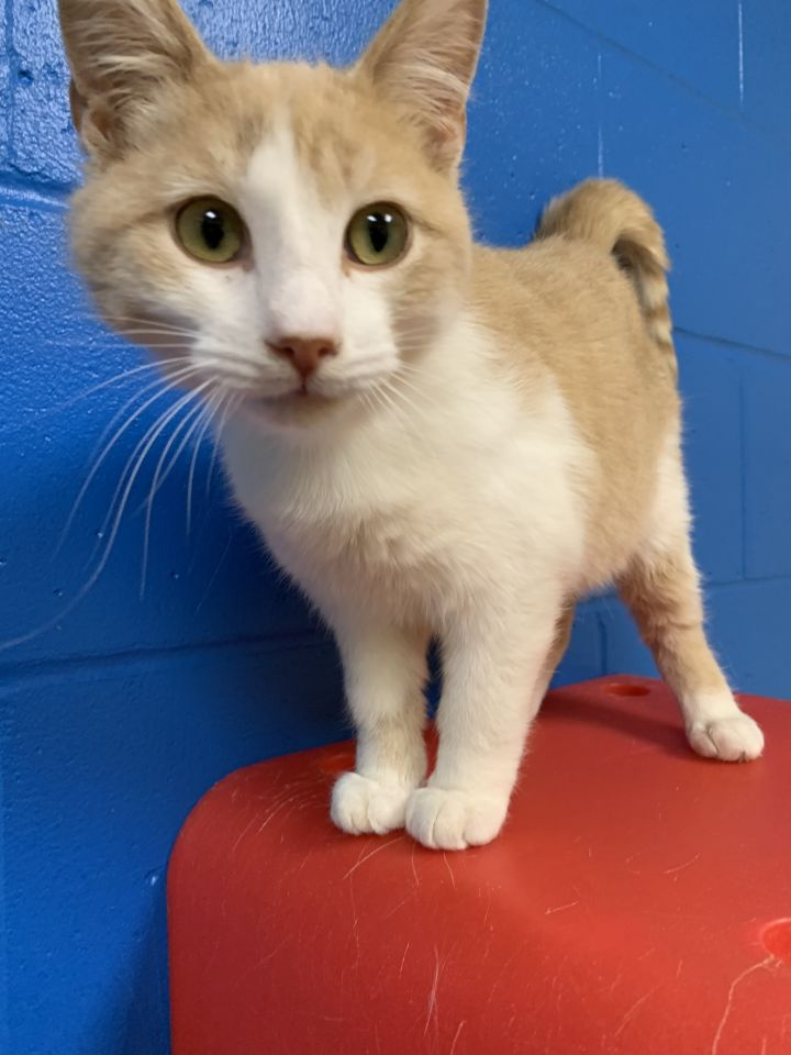 Evan, an adopted Domestic Short Hair Mix in Appleton, WI