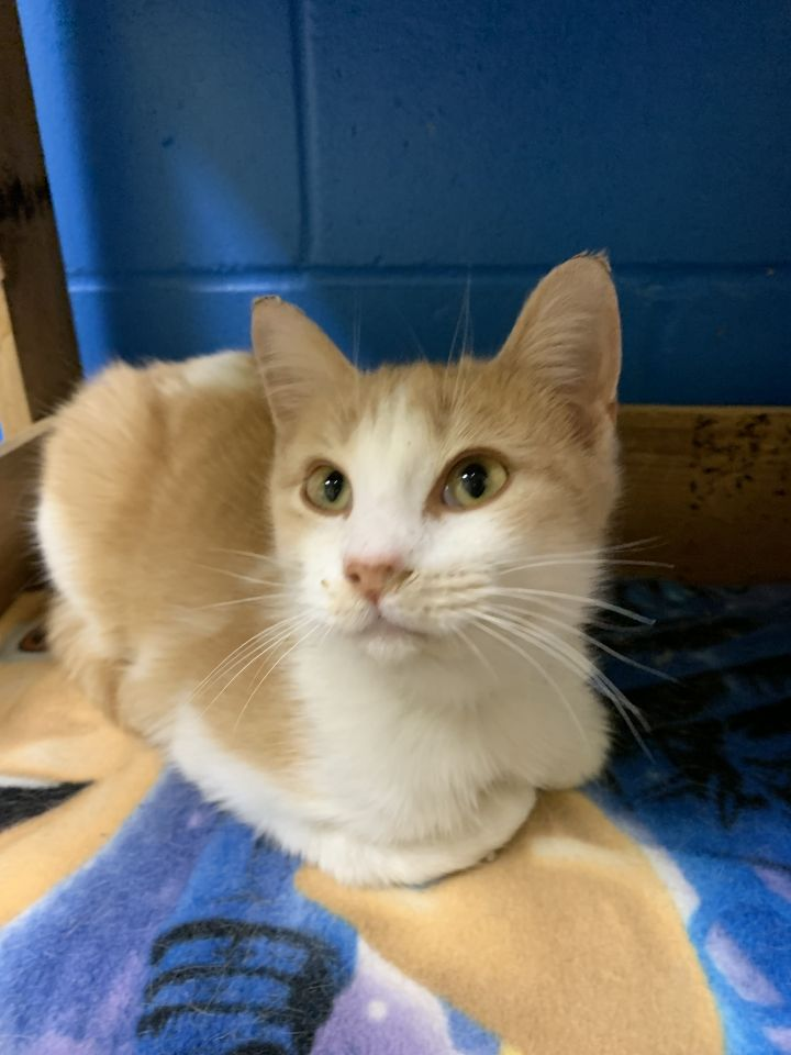 Ethan, an adopted Domestic Short Hair Mix in Appleton, WI