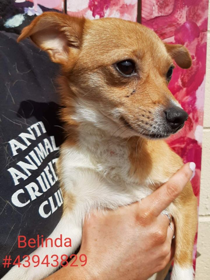 Belinda, an adoptable Terrier Mix in Wilkes Barre, PA