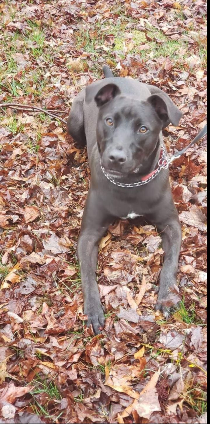 Brody, an adoptable Labrador Retriever & American Staffordshire Terrier Mix in Salisbury, MD