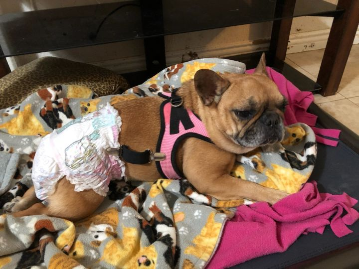 Minnie, an adoptable French Bulldog in Perris, CA