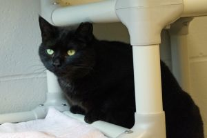 Shyamalan is a 7-year-old spayed female black cat who was brought to us after sh